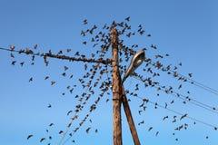 麻雀群在输电线的 免版税库存图片