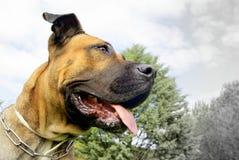 黄雀色大型猛犬 免版税库存照片