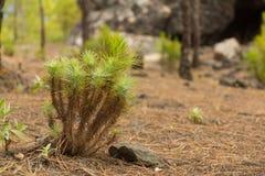 黄雀色杉木新芽在自然公园Tamadaba 库存照片