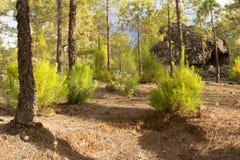 黄雀色杉木森林在自然公园Tamadaba 库存图片