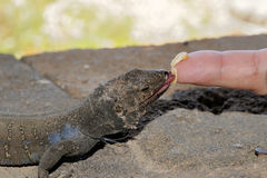黄雀色galloti gallotia海岛蜥蜴tenerife tizon Gallotia Galloti 免版税图库摄影
