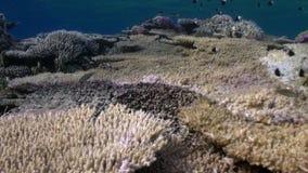 雀鲷鱼双色的制帽工人学校在礁石水下的红海的 影视素材
