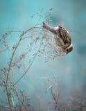 麻雀鸟坐老棍子 冻结的麻雀鸟冬天Po 库存图片