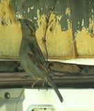 麻雀鸟延伸的脖子 库存图片
