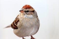 麻雀鸟 免版税库存照片