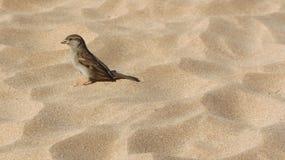 麻雀,在软的沙子的雀科在夏威夷 图库摄影
