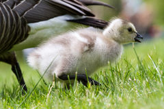 黑雁加拿大canadensis鹅 库存图片