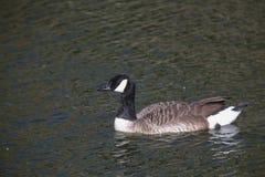 黑雁在闪烁水中 免版税库存图片