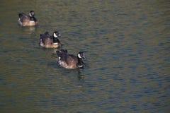 黑雁在闪烁水中 免版税库存照片