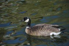 黑雁在闪烁水中 免版税图库摄影