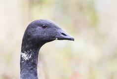 黑雁鹅头 库存图片