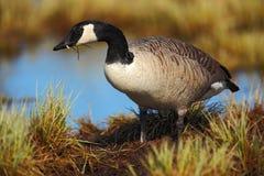 黑雁,黑雁leucopsis,黑白鸟在水中,动物在自然草栖所,法国 免版税库存照片