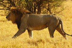 雄伟成年男性狮子跟随正是季节的雌狮 免版税库存图片