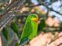 雄伟鹦鹉, Polytelis swainsonii,是一只美妙地色的鹦鹉 库存图片