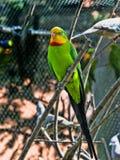 雄伟鹦鹉, Polytelis swainsonii,是一只美妙地色的鹦鹉 免版税库存图片