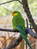 雄伟鹦鹉, Polytelis swainsonii,是一只美妙地色的鹦鹉 免版税库存照片