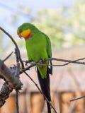 雄伟鹦鹉, Polytelis swainsonii,是一只美妙地色的鹦鹉 库存照片