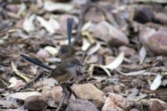 雄伟Fairywren, Wilpena, SA,澳大利亚 库存照片