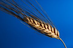 雄榫麦子 库存照片