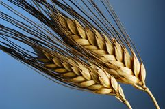雄榫麦子 免版税库存图片