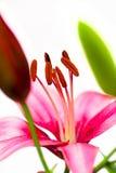 雄芯花蕊桃红色百合。 免版税库存照片