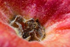 雄芯花蕊花萼和遗骸在一个红色苹果附近的 r 库存图片