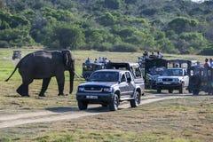 雄象朝向往srcub通过一个小组徒步旅行队吉普在Minneriya国家公园在中央斯里兰卡 免版税库存图片