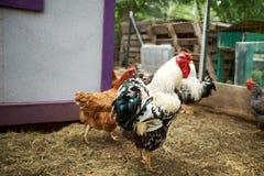 雄鸡、母鸡和鸡在农厂封入物 免版税库存照片