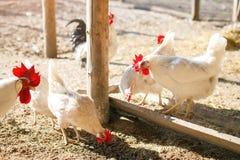 雄鸡和母鸡在一个传统家禽场 农业 免版税库存照片