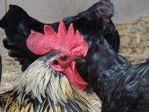 雄鸡和母鸡在农场 库存图片