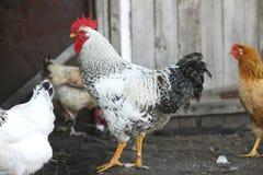雄鸡和母鸡,禽畜 库存图片
