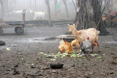 雄鸡和鸡在乡下 库存图片