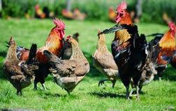 雄鸡和鸡在传统自由放养的家禽场 免版税图库摄影