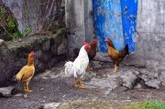 雄鸡和鸡在印度尼西亚 免版税图库摄影