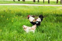 雄鸡和鸡在草甸 库存图片