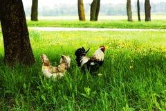 雄鸡和鸡在草甸 免版税图库摄影