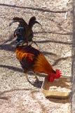 雄鸡啄从一个喂食器的谷物 库存图片