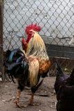 雄鸡在少数只母鸡中站立 免版税图库摄影