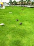 雄鸡在庭院里 库存图片