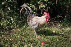 雄鸡在庭院里 免版税库存照片