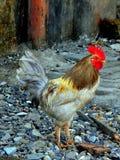 雄鸡在Chimbai村庄Bandra孟买印度 免版税库存图片