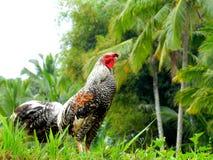 雄鸡在Tegallalang巴厘岛印度尼西亚 库存图片