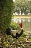 雄鸡基于一只脚的和一个湖在背景中 免版税图库摄影