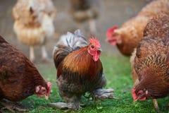 雄鸡或鸡在传统自由放养的家禽场 图库摄影