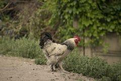 雄鸡的天 免版税库存图片