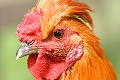 雄鸡的眼睛视图,专心地开始 免版税图库摄影