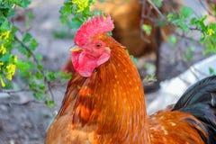 雄鸡的纵向 免版税库存图片