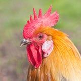 雄鸡的纵向 图库摄影