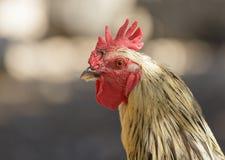 雄鸡的纵向 库存照片