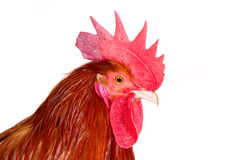 雄鸡的纵向 免版税图库摄影